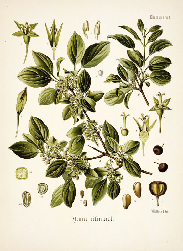 Kreuzdorn Rhamnus cathartica 80 Samen